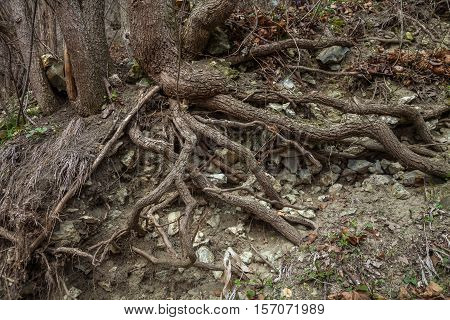 The roots of trees growing on stony ground