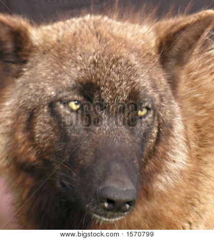 Head Of European Wolf