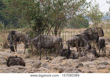 herd of white bearded wildebeest (Connochaetes tuarinus mearnsi) closeup Maasai Mara National Reserve Kenya