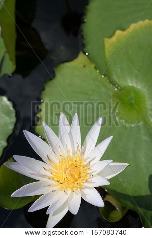 Closeup of white water lily