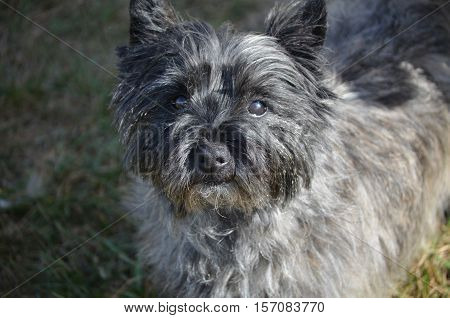 Really cute cairn terrier dog with a very sweet face.