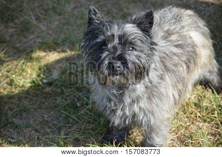 Sweet black cairn terrier dog with a sweet expression.