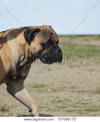 Mastiff dog pacing impatiently back and forth.