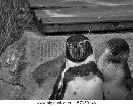 Penguins, black and white penguins, penguins, couple, beautiful penguins, penguins head.