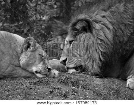 Lion and lioness lying side by side. Beautiful lion and lioness beautiful. Black and white lion and lioness.