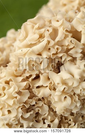 edible yellow mushroom (Sparassis crispa) as background
