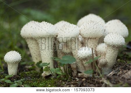 group mushrooms (Lycoperdon perlatum) in natural environment