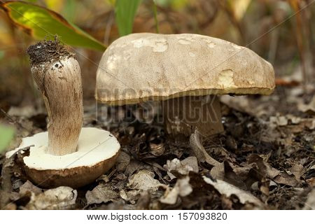 edible mushrooms (Boletus reticulatus Schaeff) in forest