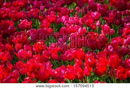 Tulip. Fresh red tulips Glade. Field with red tulips in the netherlands. Red tulips background. Group of red tulips in the park. Spring landscape. Tulip background. Beautiful bouquet of tulips.