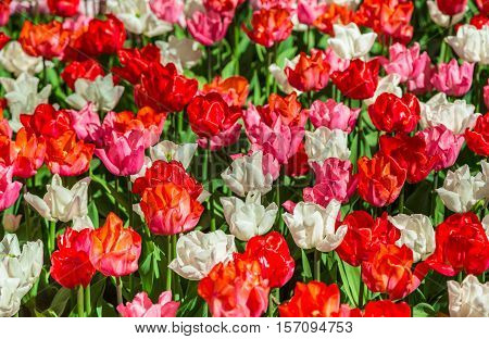 Tulip. Glade of red, pink and white fresh tulips. Colorful tulips in the Keukenhof garden, Netherlands.Tulip Flower Field. Tulip background. Beautiful bouquet of tulips. Spring landscape.