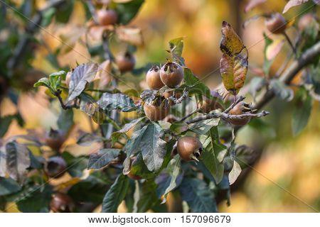 Medlar fruit ripe - medlar tree (mespilus germanica).