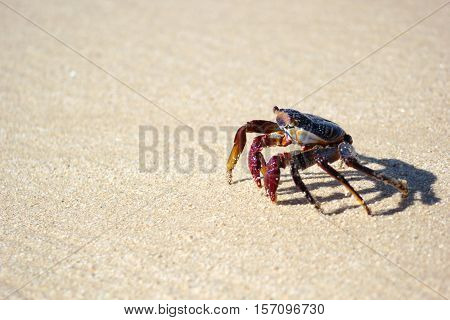 Tropical colorful crab walking in the sand on the beach in Mexico