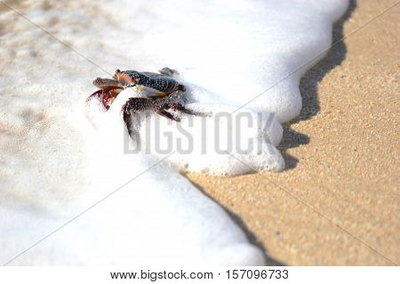 Curious crab cools off in a foamy wave while walking on the beach shoreline in Mexico