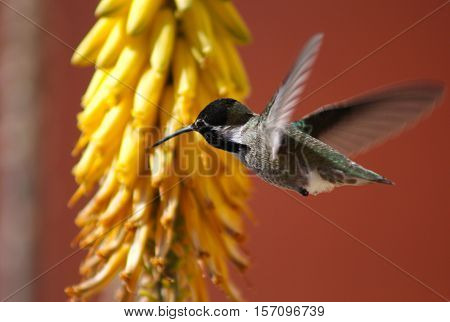 Hummingbird flies to yellow flowers to eat nectar
