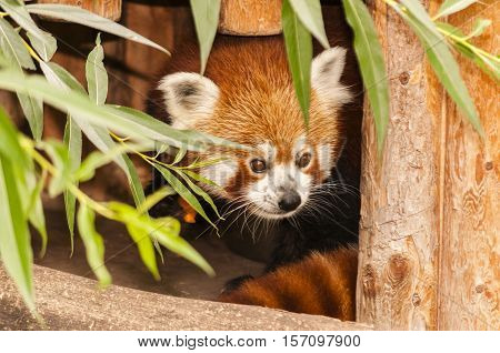 Vienna / Austria - July 22nd 2014: photo of a red Panda at Vienna Zoo