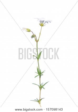 Field Mouse-ear (cerastium Arvense)