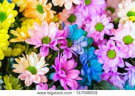 Rainbow Daisies. Chrysanthemum Rainbow Flower. Bouquets of blossom rainbow Chrysanthemum flowers, selective focus. Multi colored daisy flowers pattern background. Lgbt concept.