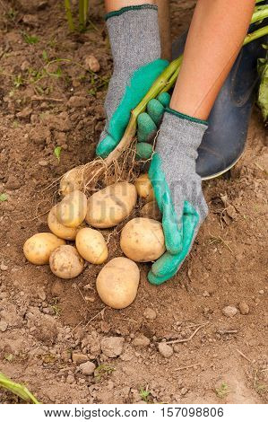 Harvesting Potatoes. Female Farmer Hold Heap Fresh Potato In Her Hand Close To Ground Close Up. Fresh Potato. Seasonal Harvest.