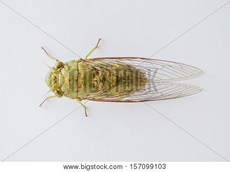 close up the cicada on White background