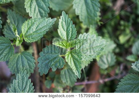Urtica dioica, often called common nettle or stinging nettle.