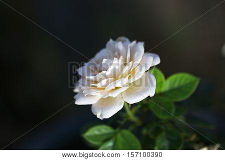 Natural white rose flower close up on green bush.