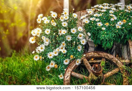 Camomile flowers blossom at lawn with green grass and old wooden wheel. Decorative natural elements for landscape design. Gardening flowering