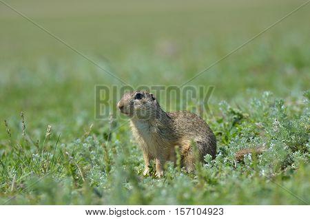 Cute European ground squirrel gopher (Spermophilus citellus Ziesel) sitting on a field