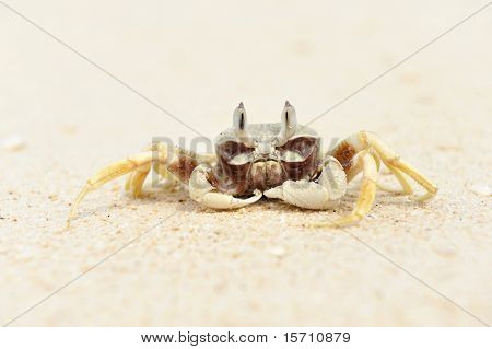 Ghost crab on a beach poster