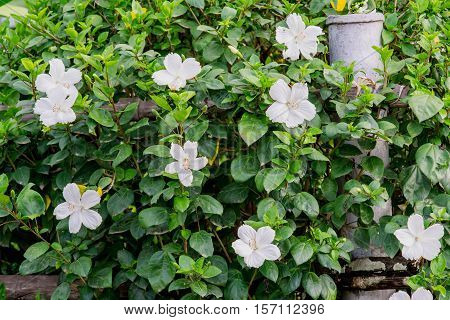 fence Hibiscus tree with white hibiscus flowers blooming.