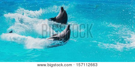 two dolphins frolic in the blue clear water selective focus