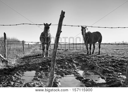Two horses behind a barbed wire fence in a muddy pasture in black and white