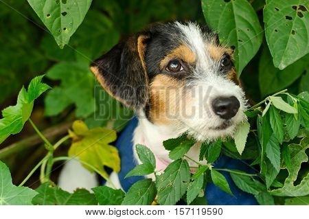 Cute puppy is an adorable puppy dog face outdoors with big brown cute eyes.