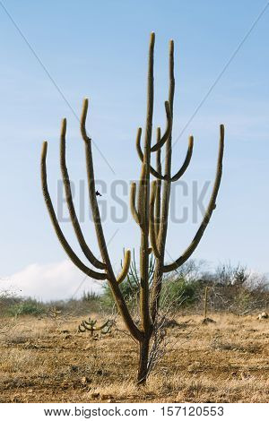 Pilosocereus Pachycladus Known As