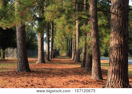 Two rows of pine trees, a residential trail and road.