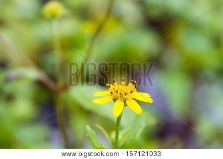 Creeping Daisy Or Climbing Wedelia - Asteraceae (Compositae) Ground Cover Blossoming With Green Background.