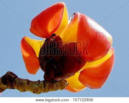 The Bombax Ceiba flower in Edith Wolfson Park in Ramat Gan Israel