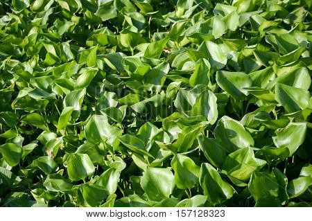 green water hyacinth tree in river , Eichhornia crassipes