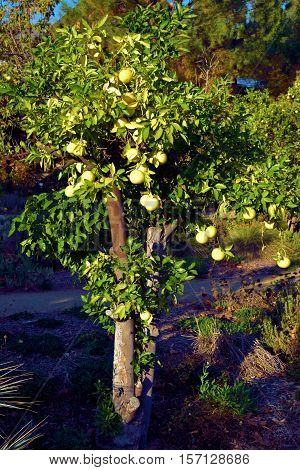 Lemon Tree with lemons taken at a garden in a residential yard