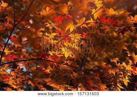 Maple Background Autumn Season at Fukushima ,Japan