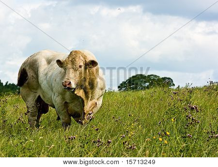 White Bull Grazing In A Meadow With  Moody Blue Skys.