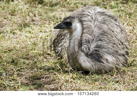 the Australian emu is resting on the grass