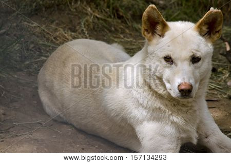 this dog is a cross breed between a white dingo and a golden dingo he is resting