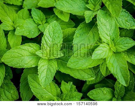 Closeup Fresh Growing Peppermint Leaves At Vegetable Garden With Water Drop . Green Leaves And Natur