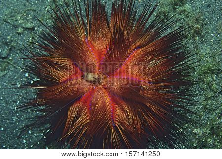 Sea Urchin at the bottom of the ocean