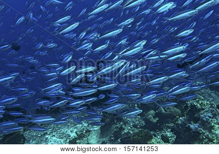 Fusiliers Fish