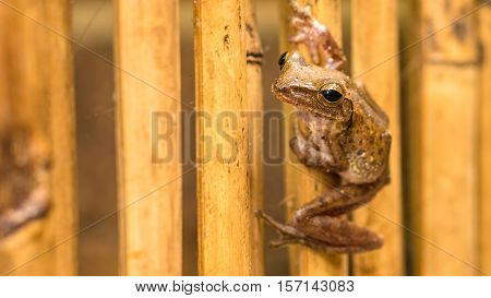 Close up of Beautiful Frog on Dry Bamboo Stick. Front Short Perspective. Koh Tao, Thailand.