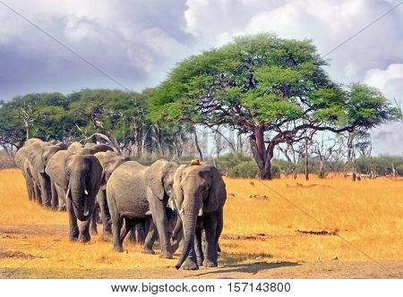 Parade of elephants in a straight line walking away from the trees towards a waterhole in Hwange National Park, Zimbabwe, Southern Africa