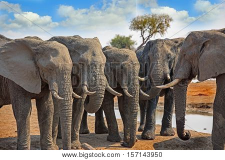 Five Elephants standing in an identical pose - like statues - with trunks hanging looking ahead with a vivid blue cloudy sky in Hwange National Park, Zimbabwe, Southern Africa