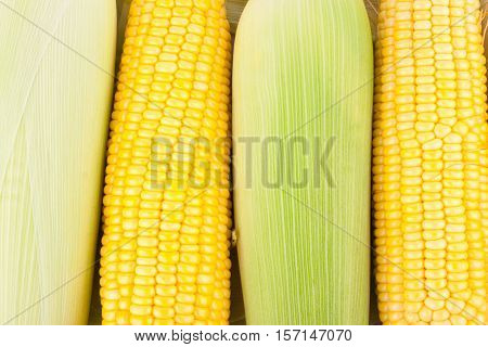 ripe ear of  sweet corn on cobs kernels or grains of ripe corn on white background corn vegetable isolated