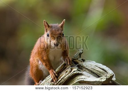 British native Red Squirrel on old tree branch on Brownsea Island Dorset